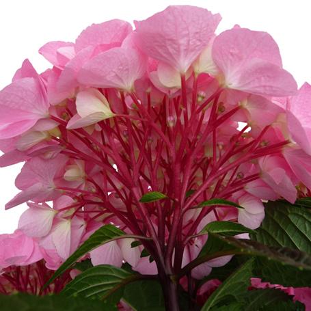 Hydrangea macropylla 'Saxon Style Pink'
