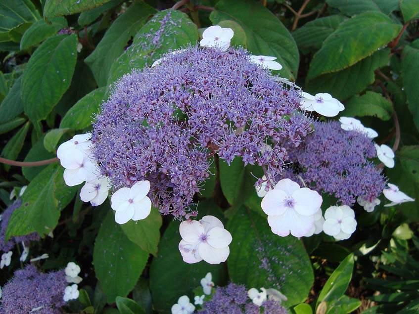 fehér-kék virágú érdeslevelű hortenzia