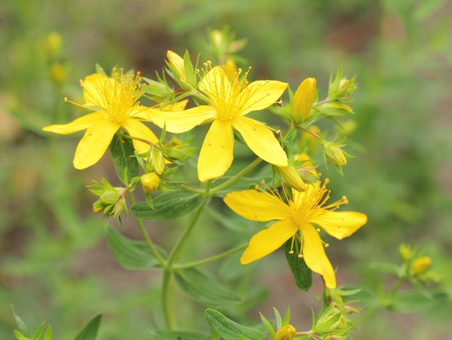 orbáncfű virágzat