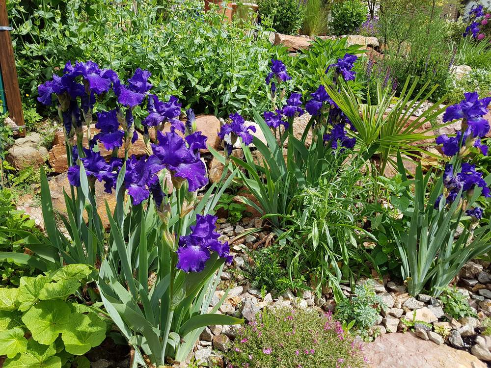Iris barbata elatior 'Blue Rhythm'