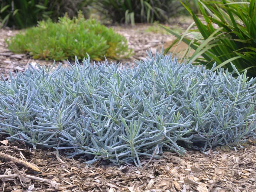 Kleinia Trident Blue