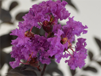 Lagerstroemia 'Blacksolitaire' Purple