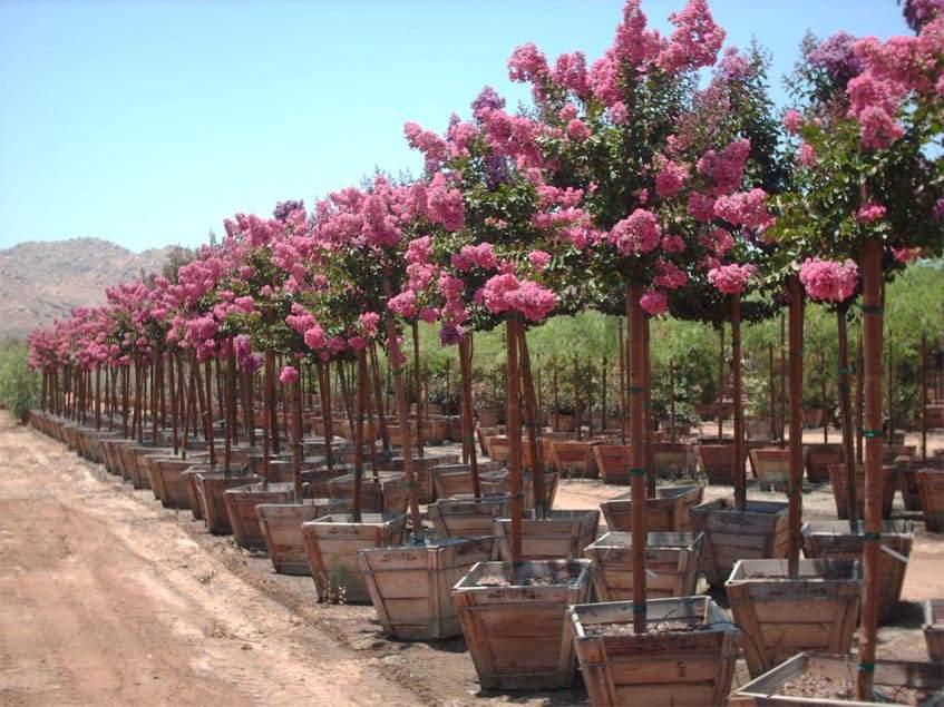 Lagerstroemia indica 'Seminole Pink'