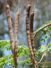 moringa fa termése