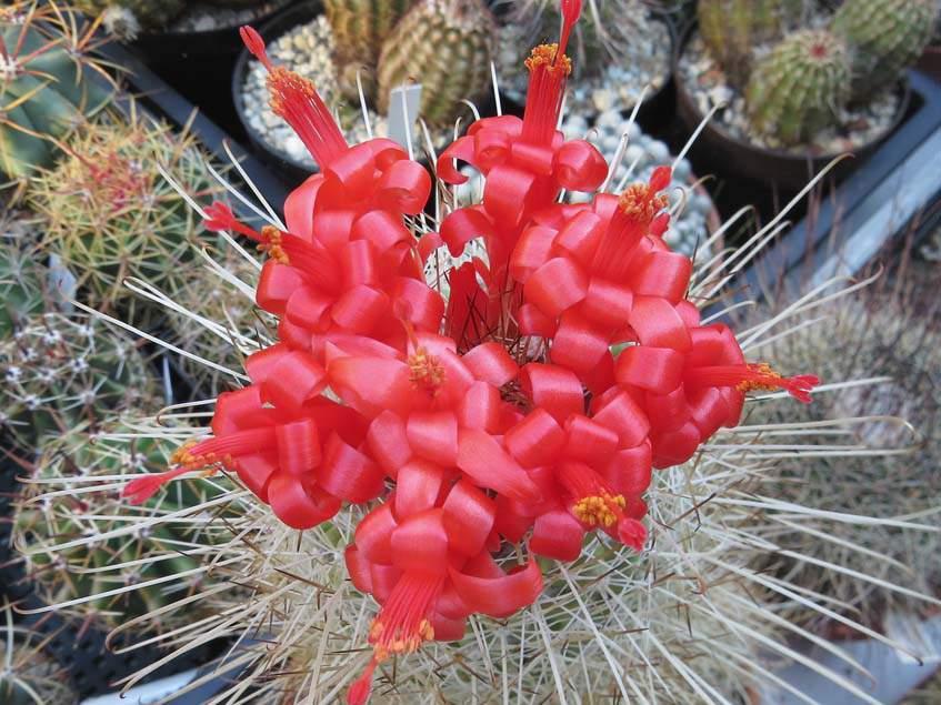 Mammillaria setispina