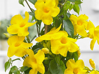 Mandevilla 'Bloom Bells Yellow'