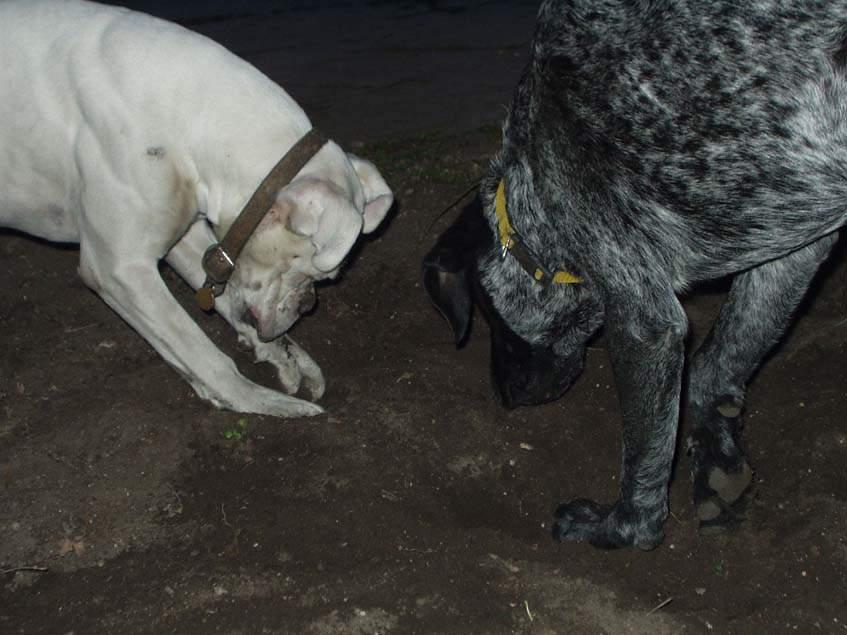 ás a kutya