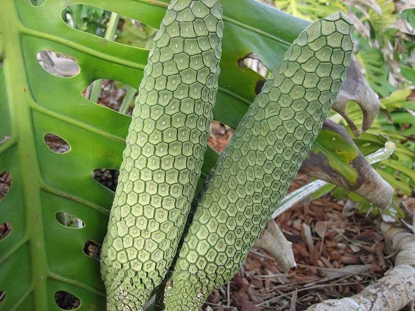 filodendron termése