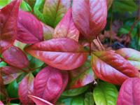 Nandina 'Blush Pink'