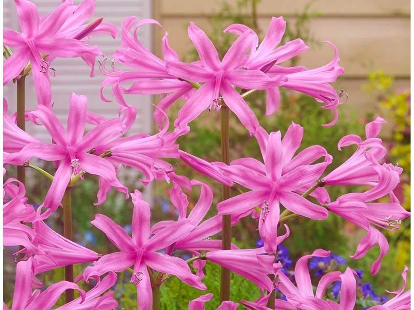 Pirosliliom 'Pink'