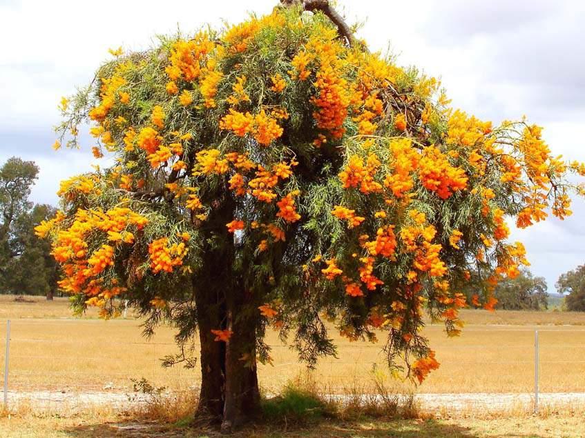 Nuytsia floribunda