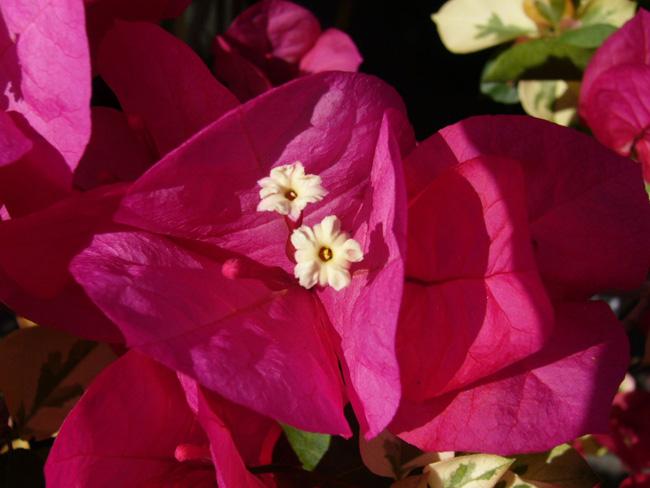 murvafürt virágzata