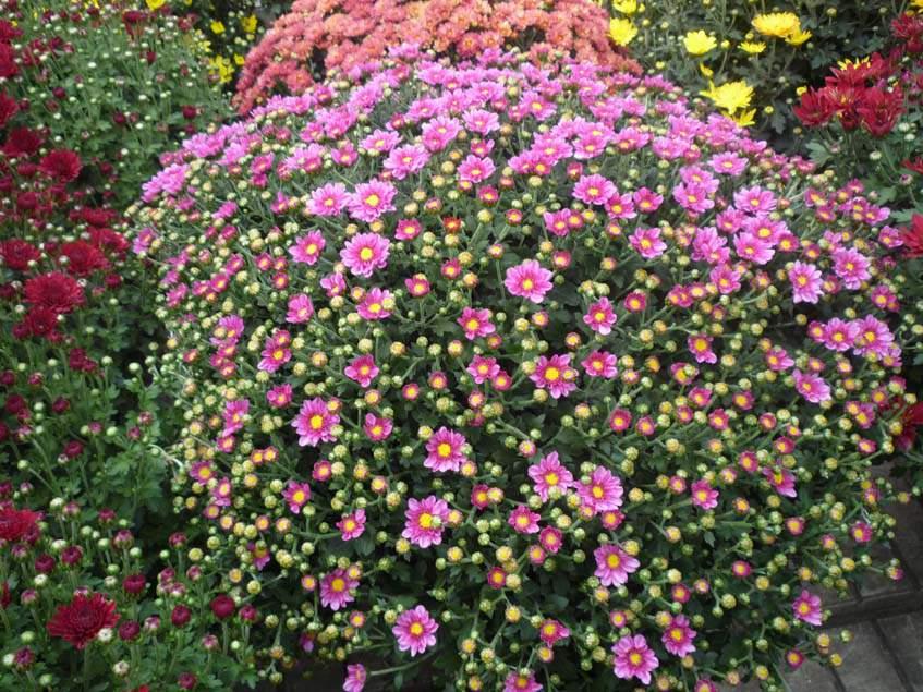 krizatntém az Oázis Kertészet kínálatából