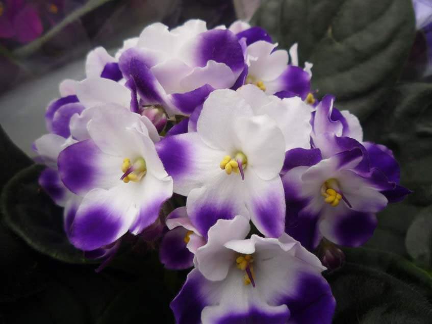 tarka virágú fokföldi