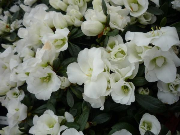 fehér azalea