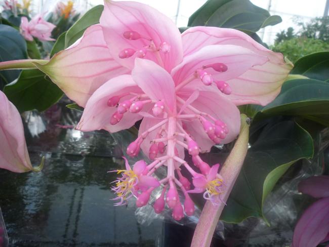 pompás medinilla virágzat