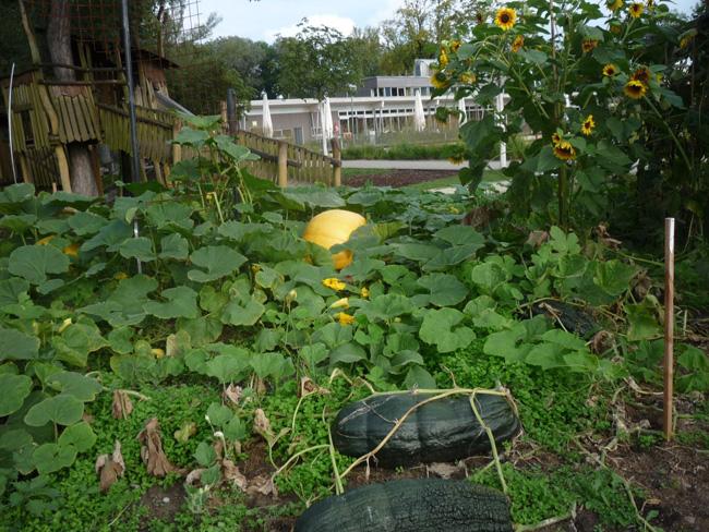 tökfélék a tullni kertekben