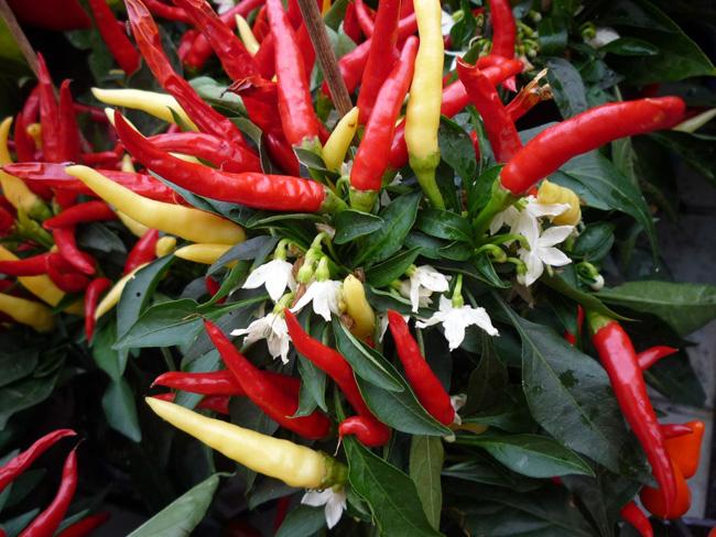 chili paprika az Oázis kínálatában