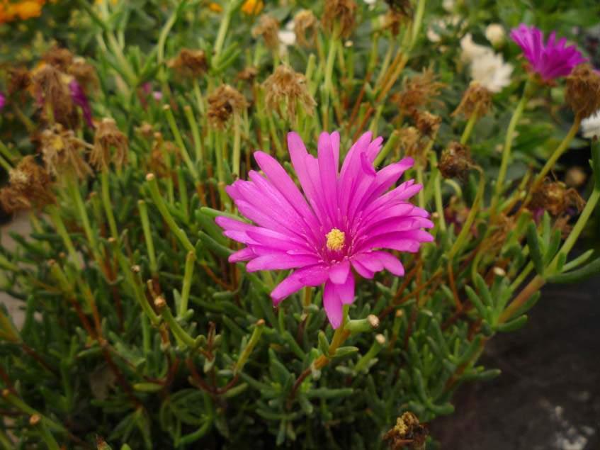 szimpla virágú kristályvirág