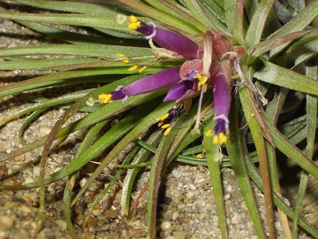 virágzó Tillandsia