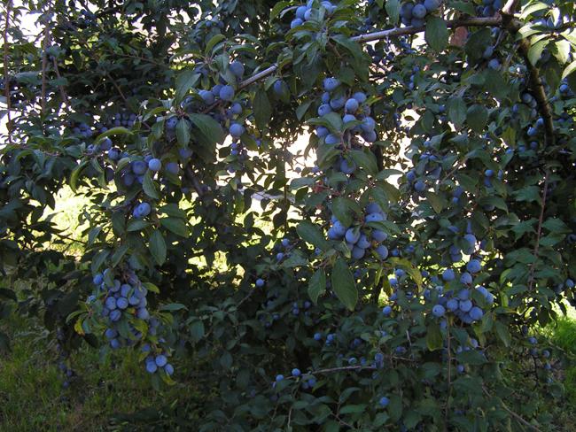 őséges termés kertbeültetett 5. éves bokron