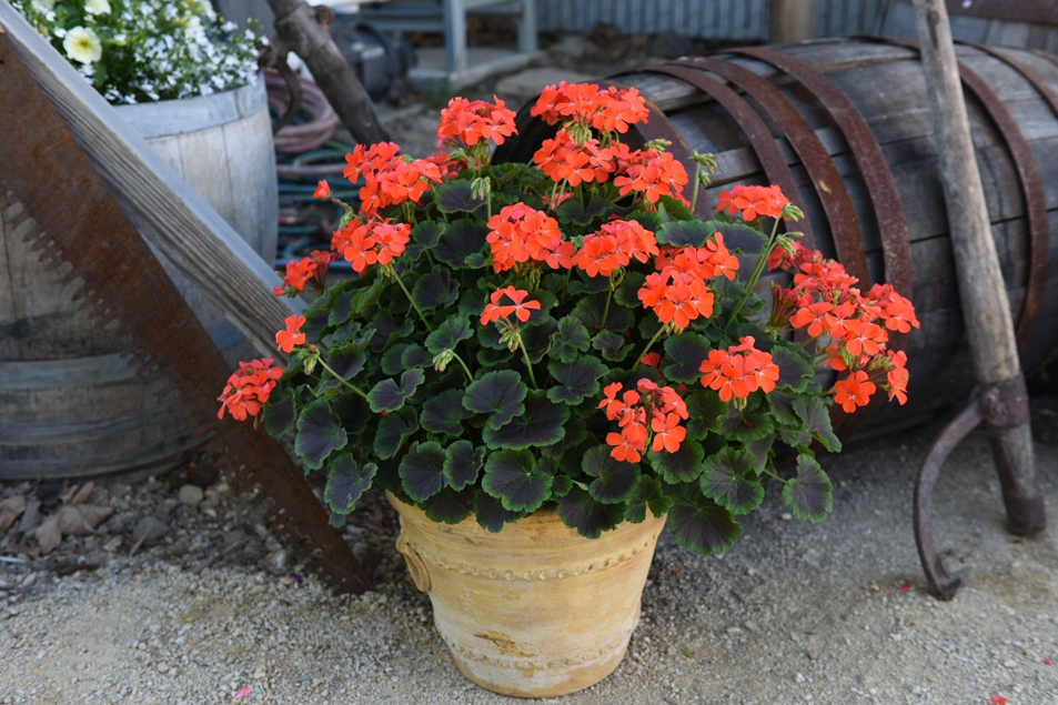 Pelargonium zonale Brocade-'Fire- Night' fotó: Dümmen Orange