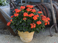 Pelargonium zonale Brocade 'Fire Night-fotó Dümmen Orange'
