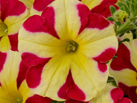 Petunia Amore Queen of Hearts-kis