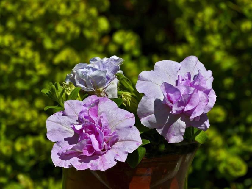 Petunia 'Joanna'