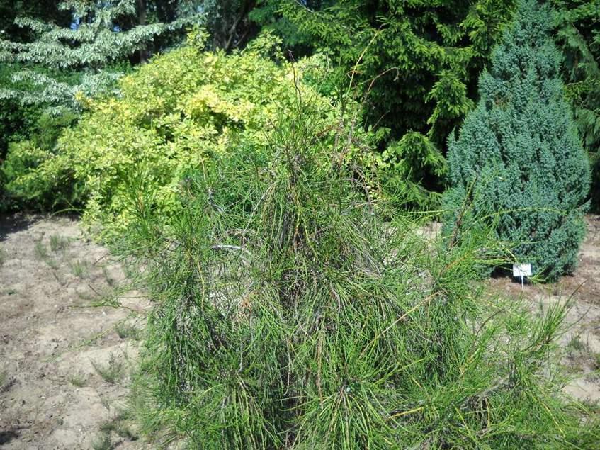 Platycladus orientalis Balaton