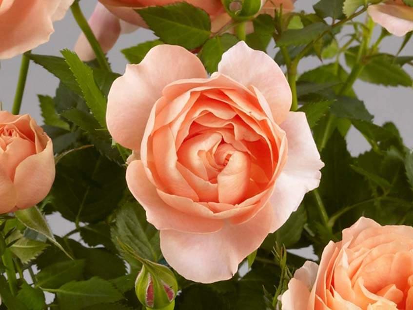 Posy Parade rózsa