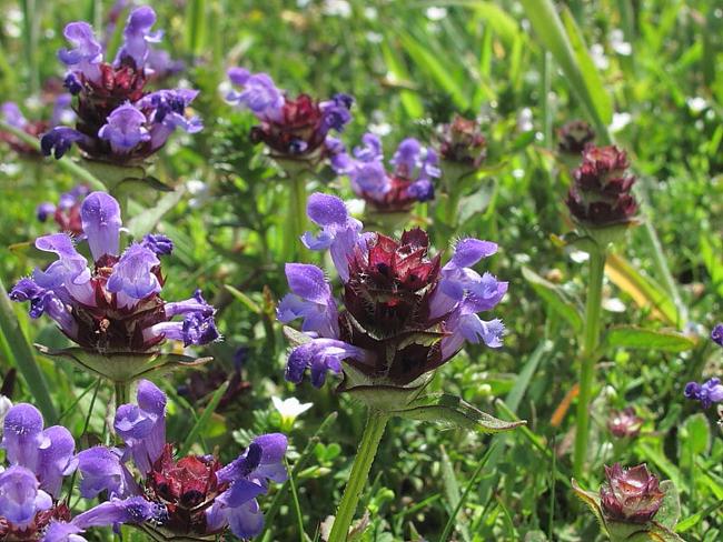 közönséges gyíkfű virágzata