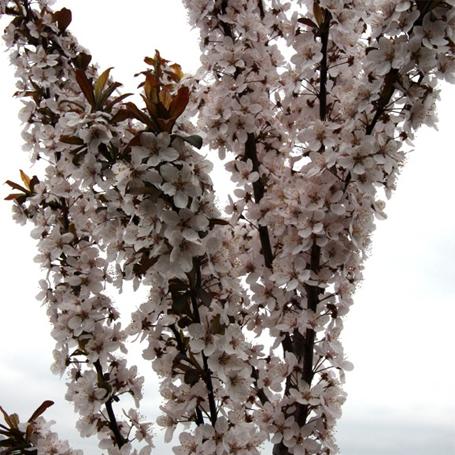 Prunus cerasifera Crimson Pointe