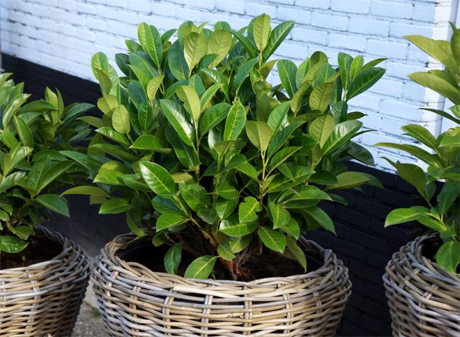 Prunus laurocerasus 'Green Planet'