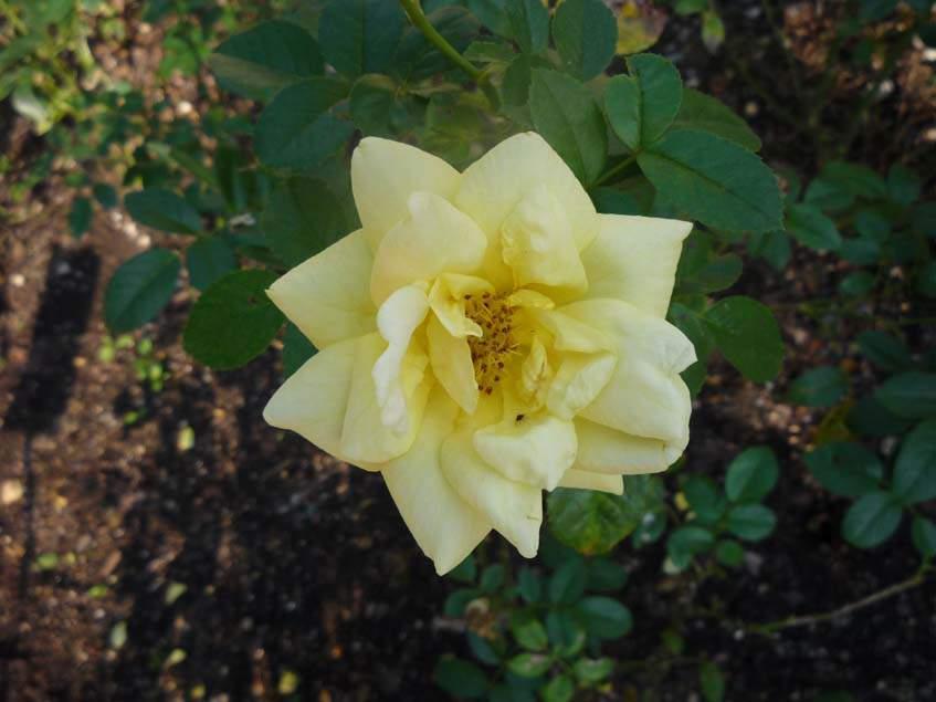Rosa Loredo