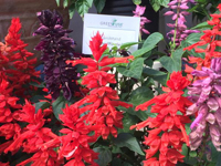 Salvia Grandstand
