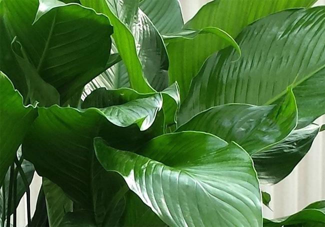 Spathiphyllum 'Grando'
