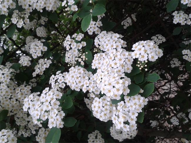 kerti gyöngyvessző