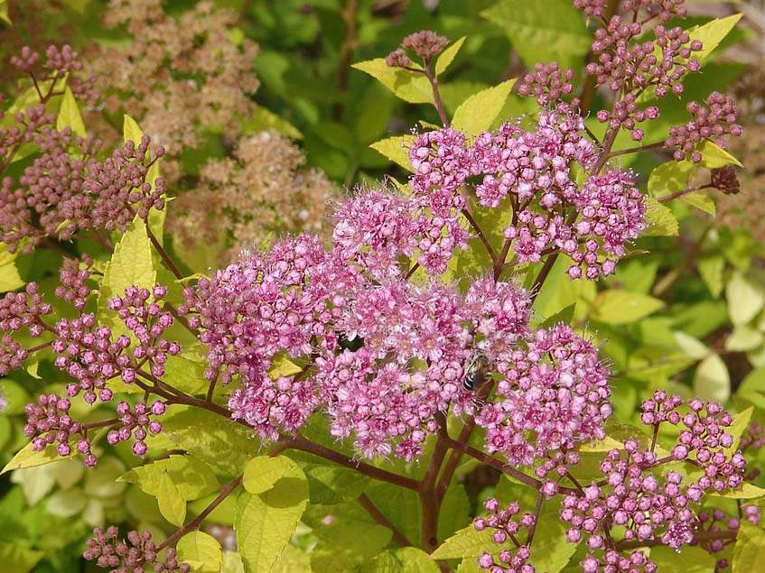 Spirea 'Lemon Princess'