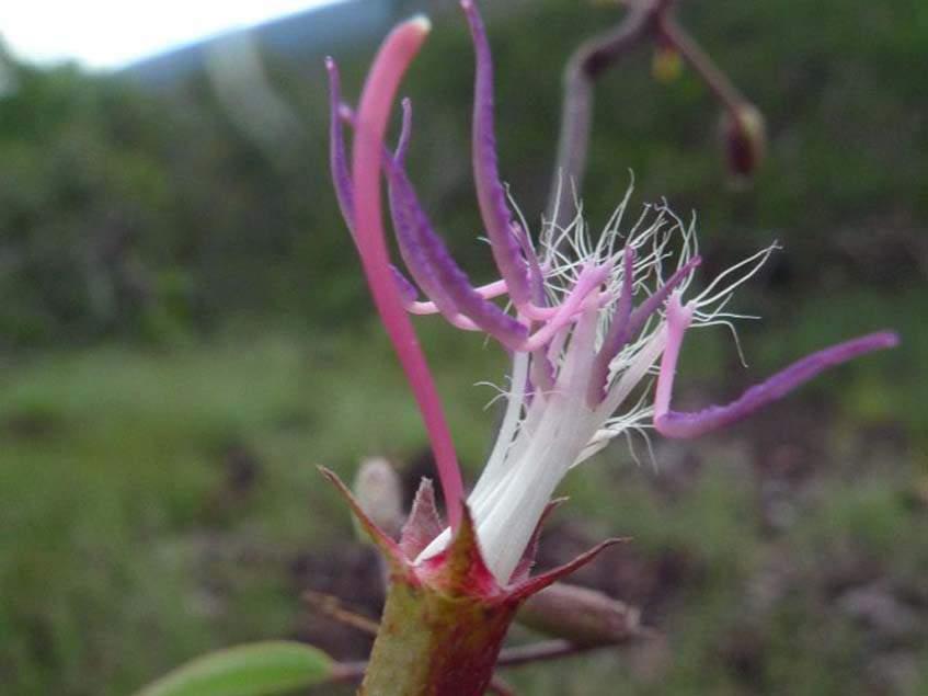 Tibouchina rosanae