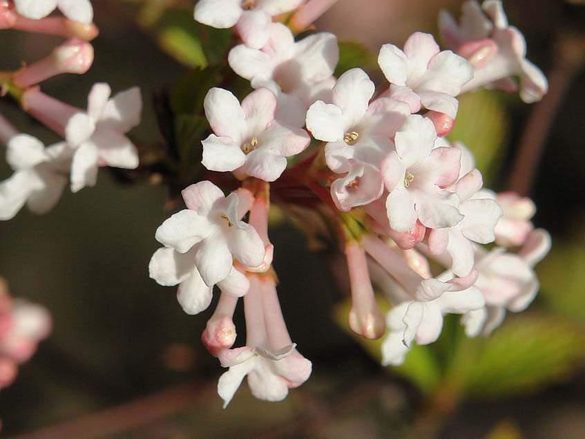 Rózsás bangita
