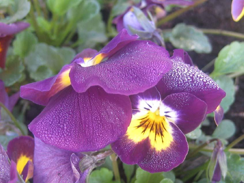 Viola cornuta F1 Deltini