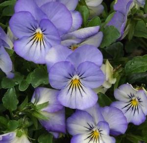 Viola cornuta 'Penny Purple Picotee'