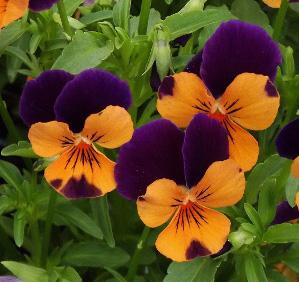 Viola cornuta SORBET 'Orange Duet'