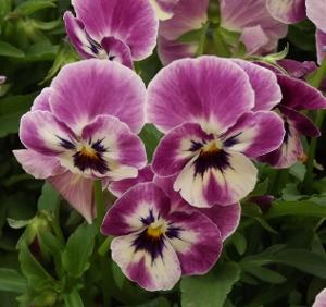 Viola cornuta SORBET 'Raspberry'
