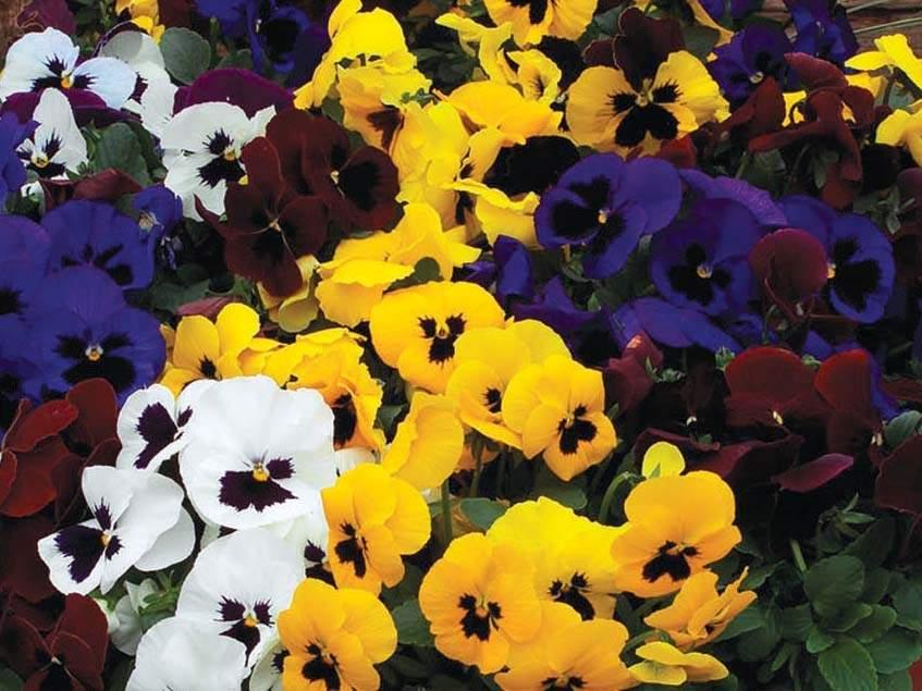 Viola x wittrockiana Colossus Blotched Mix