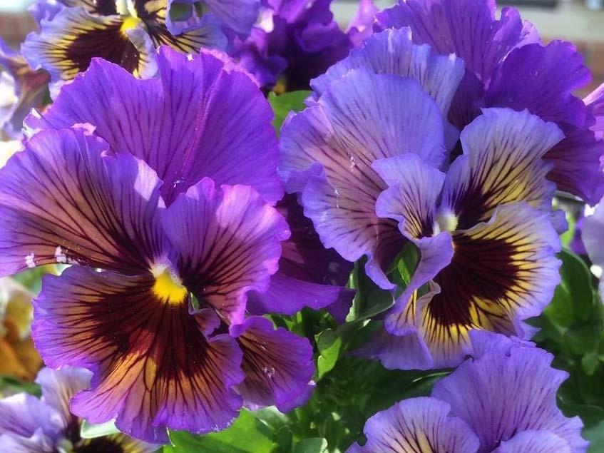 Viola x wittrockiana 'Frizzle'Sizzle'