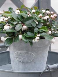 kúszó fajdbogyó White Pearl'