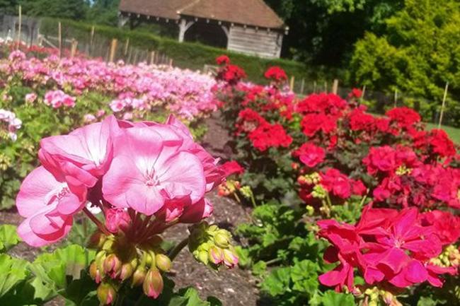 wisley garden muskatli fajtakipróbálás