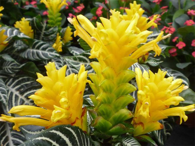 afelandra virágzat